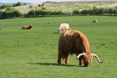 Bestiame dell'altopiano Immagini Stock Libere da Diritti