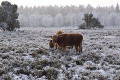 Bestiame dell'altopiano Fotografia Stock