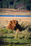 Bestiame dell'altopiano in campagna scozzese Fotografie Stock Libere da Diritti