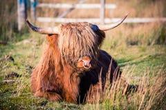 Bestiame dell'altopiano in campagna scozzese Immagini Stock