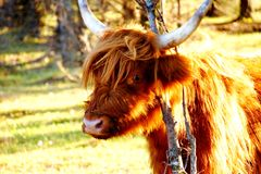 Bestiame dell'altopiano che fa una pausa un ramo di albero Fotografie Stock Libere da Diritti