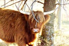 Bestiame dell'altopiano che fa una pausa un ramo di albero Immagine Stock Libera da Diritti