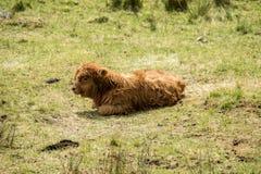 Bestiame dell'altopiano del bambino che abita nel campo, Scozia fotografia stock libera da diritti