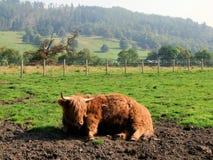 Bestiame dell'altopiano di Kilmahog Immagine Stock