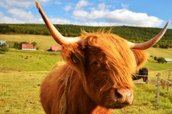 Bestiame dell'altopiano nelle montagne Fotografia Stock