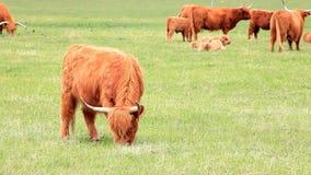 Bestiame dell'altopiano su un'azienda agricola archivi video