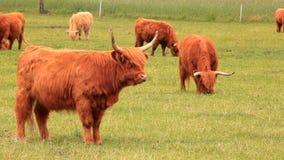 Bestiame dell'altopiano su un'azienda agricola video d archivio