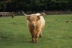 Bestiame dell'altopiano in un'azienda agricola Fotografia Stock Libera da Diritti