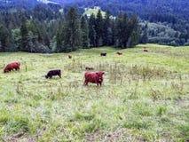 Bestiame dell'altopiano in un prato nelle alpi di Allgaeu, Baviera, Germania Fotografie Stock