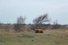 Bestiame dell'altopiano in Zelandia nei Paesi Bassi immagini stock