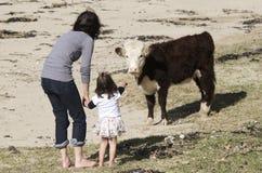 Bestiame dell'ayrshire Immagine Stock Libera da Diritti