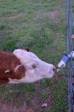 Bestiame dell'azienda agricola Fotografia Stock Libera da Diritti