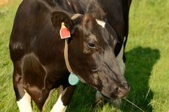 Bestiame dell'Holstein Fotografia Stock