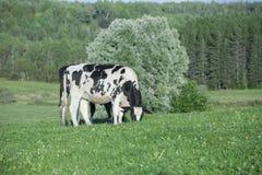 Bestiame dell'Holstein che pasce in un pascolo Fotografia Stock Libera da Diritti