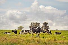 Bestiame dell'Holstein in un'azienda agricola fotografia stock
