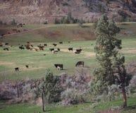 Bestiame della collina Fotografia Stock