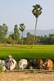 Bestiame della mucca Fotografia Stock Libera da Diritti