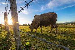 Bestiame della mucca in azienda agricola Fotografia Stock Libera da Diritti
