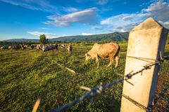 Bestiame della mucca in azienda agricola Immagini Stock Libere da Diritti