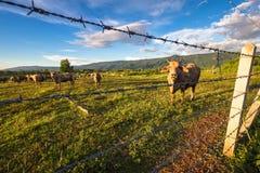 Bestiame della mucca in azienda agricola Immagini Stock