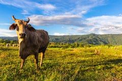 Bestiame della mucca in azienda agricola Immagine Stock