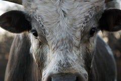 Bestiame della mucca texana del Texas Immagine Stock