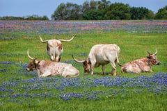 Bestiame della mucca texana del Texas in bluebonnets immagini stock libere da diritti