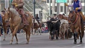 Bestiame della mucca texana nella parata di riserva occidentale nazionale di manifestazione. archivi video