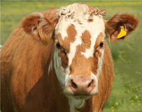 Bestiame della palude di Pevensey Immagine Stock