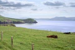 Bestiame della penisola delle Dingle sul modo atlantico selvaggio Fotografia Stock