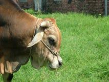 Bestiame della Taiwan Immagini Stock Libere da Diritti