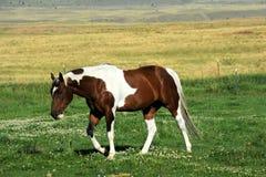 Bestiame della valle di paradiso Immagine Stock Libera da Diritti