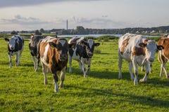 Bestiame delle mucche su un campo verde Immagini Stock Libere da Diritti