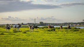 Bestiame delle mucche su un campo verde Immagine Stock