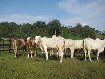 Bestiame dello zebù Fotografie Stock