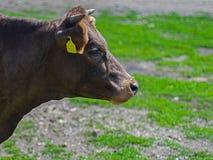 Bestiame di agricoltura biologica fuori per accedere al pascolo naturale durante il pascolo della stagione Fotografia Stock