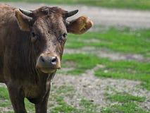 Bestiame di agricoltura biologica fuori per accedere al pascolo naturale durante il pascolo della stagione Immagine Stock Libera da Diritti