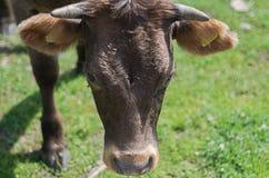 Bestiame di agricoltura biologica fuori per accedere al pascolo naturale durante il pascolo della stagione Fotografie Stock