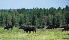 Bestiame di Angus che pasce sul pascolo Fotografie Stock Libere da Diritti