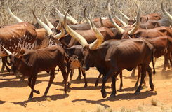 Bestiame di Ankole fotografie stock libere da diritti