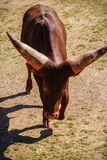 Bestiame di carico Immagini Stock Libere da Diritti