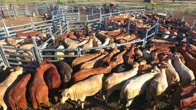 Bestiame di entroterra che raduna con il gregge del bestiame video d archivio