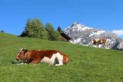 Bestiame di Fleckvieh nel Bernese Oberland Immagini Stock