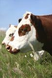 Bestiame di Hereford Immagini Stock