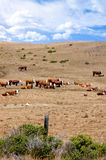 Bestiame di Herford Fotografia Stock Libera da Diritti