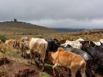 Bestiame di Maasai Immagine Stock