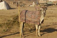 Bestiame di Nagaur giusto in India Fotografia Stock Libera da Diritti