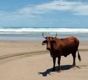 Bestiame di Nguni Fotografie Stock Libere da Diritti