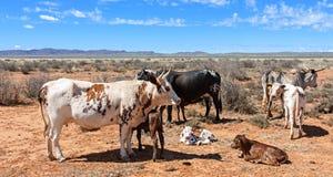 Bestiame di Nguni Fotografia Stock Libera da Diritti
