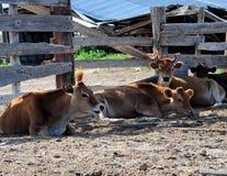 Bestiame di riposo Fotografie Stock Libere da Diritti